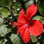 Dâm bụt   Loại thảo dược có thể chữa được bệnh tim