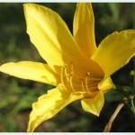 Hoa kim trâm   Loại thảo dược có biệt danh Nữ hoàng vitamin